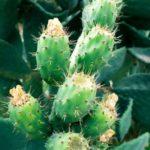 Kaktus masáž